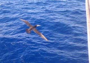 It was generally very difficult to photo the animals that came near the ship as they came and went so fast, but this bird flew very close to the front of the ship as we were nearing Guatemala